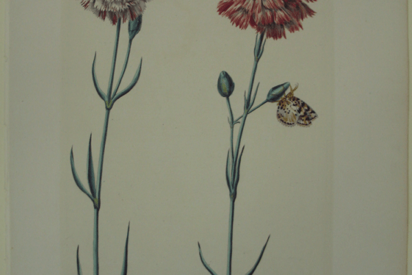 Ehret Caryophyllus III and IV