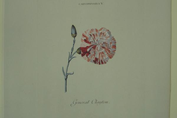 Ehret Caryophyllus V