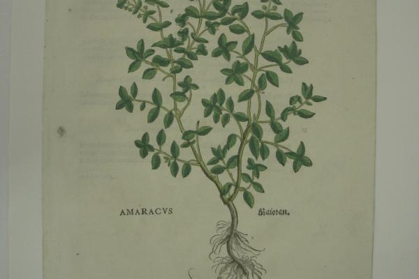 Fuchs Amaracus