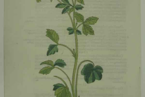 Fuchs Caryophyllata Hortensis