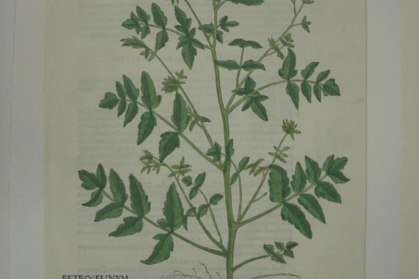 Fuchs Petroselinum