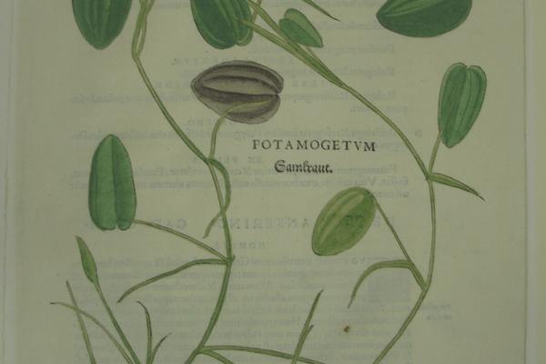 Fuchs Potamogetum