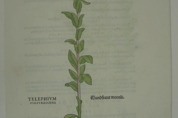 Fuchs Telephium